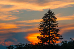 Spruce silhouette at sunset Royalty Free Stock Images