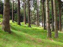 Spruce skog Royaltyfria Bilder