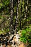 Spruce skog Royaltyfri Foto