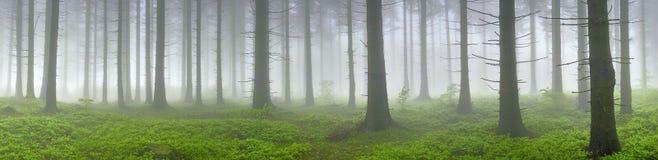 Spruce skog Fotografering för Bildbyråer
