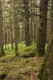 Spruce skog, Alaska Royaltyfri Foto