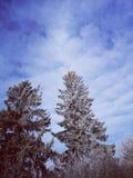Spruce sky background stock image