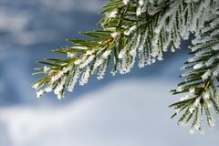 Spruce and snow. Spruce covered with snowflakes and blurry background Royalty Free Stock Photography