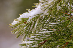 Spruce with snow Stock Photo