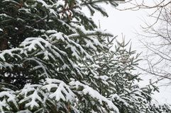 Spruce in the snow during blizzard. Winter has come royalty free stock image