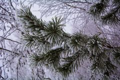 Spruce in the snow. Christmas background. blue spruce in snow. raindrops on spruce. beautiful Christmas background.The freshness of winter.snowy winter Stock Photography