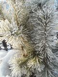 Spruce in the snow. Pine trees covered with snow. Spruce in the snow. Pine trees covered with frost. Pine needles in snow stock images
