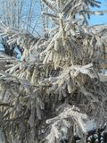 Spruce in the snow. Pine trees covered with snow. Spruce in the snow. Pine trees covered with frost. Pine needles in snow royalty free stock photo