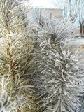 Spruce in the snow. Pine trees covered with snow. Spruce in the snow. Pine trees covered with frost. Pine needles in snow stock photos