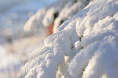 Spruce in snow. Tree branch under snow cap in mountains Royalty Free Stock Photo