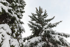 Spruce in the snow Stock Image