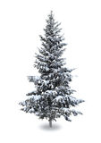 Spruce in the snow Stock Photo