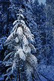 Spruce in the snow Royalty Free Stock Photos