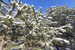 Spruce in the snow, winter Stock Photography