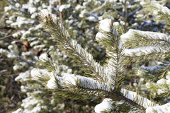 Spruce in the snow, winter Royalty Free Stock Images