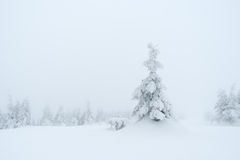 Spruce in snow Royalty Free Stock Photos