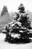 Spruce and snow. Winter view of the spruce (picea) on a snowy day. Black and white photo Royalty Free Stock Images