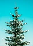 Spruce som täckas med snow Arkivbild