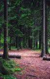 spruce sommar för skog Arkivbild