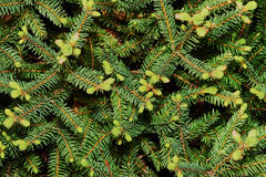 Spruce spherical Stock Image