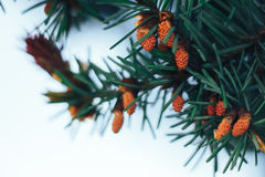 Spruce in the spring Royalty Free Stock Image
