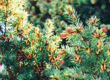 Spruce in the spring Royalty Free Stock Photography