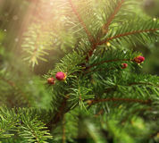 Spruce on spring light. Spruce tree red spring sprout blossoming on green branch daylight royalty free stock images