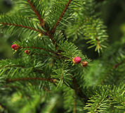 Spruce on spring Stock Photo