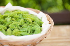 Spruce sprouts Royalty Free Stock Image