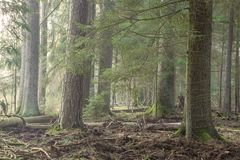 Spruce stand of Bialowieza Forest in morning stock images