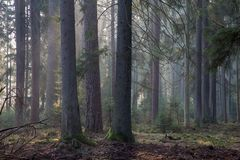 Spruce stand of Bialowieza Forest in morning stock photography