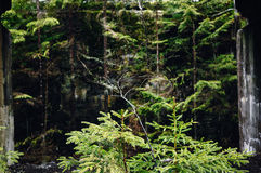 Spruce thicket Stock Images