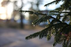 Spruce Three Branches After the Rain. Spruce tree branches with some water drops hanging from them while sun sets beautifully behind them. The sun gives amazing royalty free stock photography