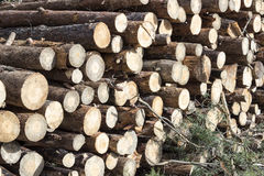 Spruce Timber Logging in the Forest. Folded forest Stock Images