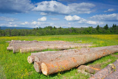 Spruce Timber Logging in Forest, Poland Stock Photo