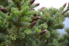 Spruce Tip Pine, Alaska Stock Images