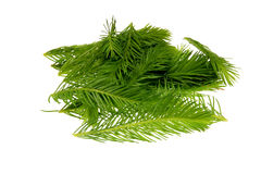 Spruce tips. Piceae turiones recentes, used as a medicinal plant and spruce tip honey, spruce tip syrup Stock Photo