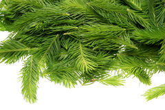Spruce tips. Piceae turiones recentes, used as a medicinal plant and spruce tip honey, spruce tip syrup Stock Photography