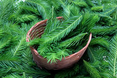 Spruce tips. Piceae turiones recentes, used as a medicinal plant and spruce tip honey, spruce tip syrup Stock Image