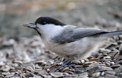 Spruce tit. Eating sunflower seeds Stock Image
