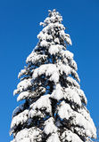 Spruce top covered by hard snow Stock Photo