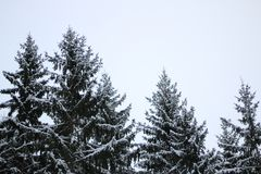 Spruce tops in the sky stock photos