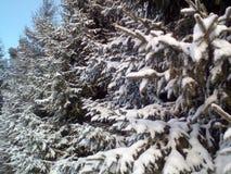 spruce tree Royaltyfria Bilder