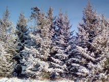 spruce tree Royaltyfri Bild