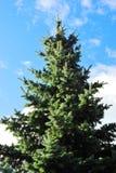 Spruce Tree Stock Image