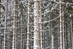 Spruce tree Stock Images