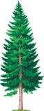 Spruce tree vector illustration