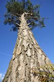 Spruce Tree. Looking up under a tall Spruce Tree Royalty Free Stock Images