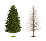 Spruce Tree. Royalty Free Stock Image