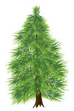 Spruce tree Stock Image